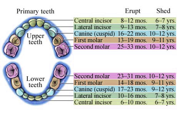 Baby Teeth - Plainland Dental